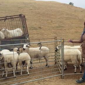"""Almudena Sanz: """"Esta feria de ganado sirve para mostrar el enorme trabajo que realizan los ganaderos en Guadalajara"""""""